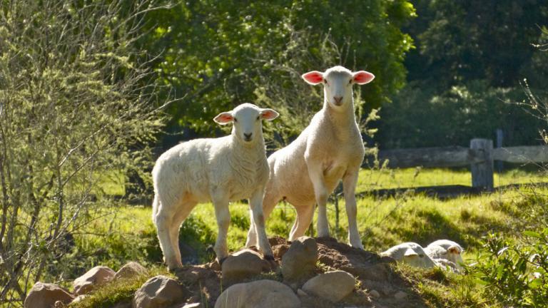 Belinda Webster: Lamb