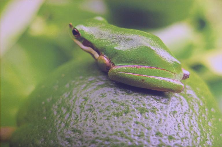 Chris Brangwin: Frog – size of a 5 cent piece, sitting on a lime
