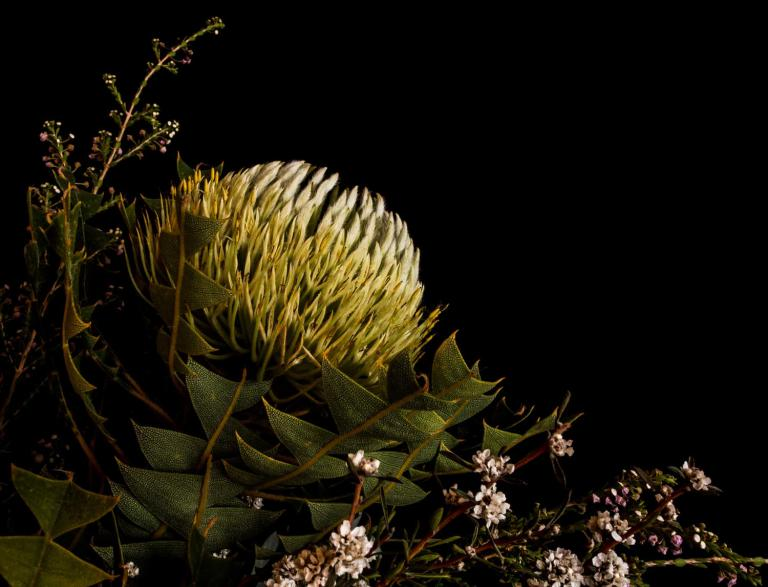 Chris Sutton: Banksia Helianthas