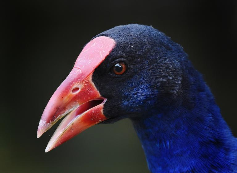 Colin Talbot: Call of the Swamphen