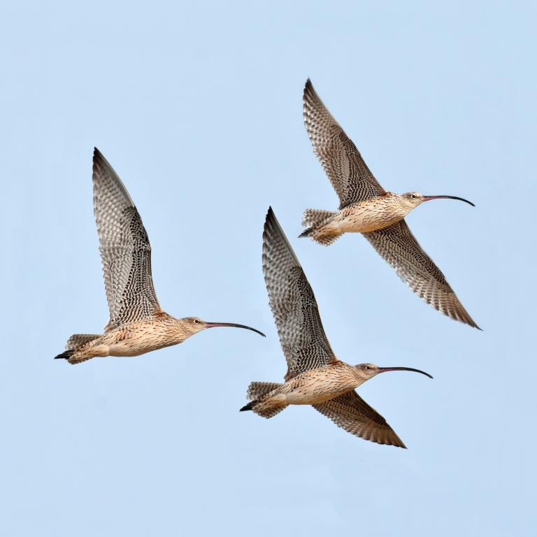 Colin Talbot: Eastern Curlews #1