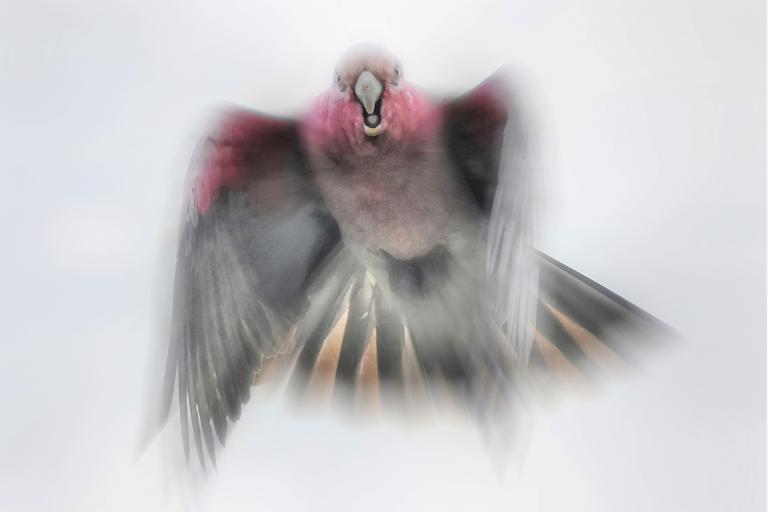Colin Talbot: Galah in Flight