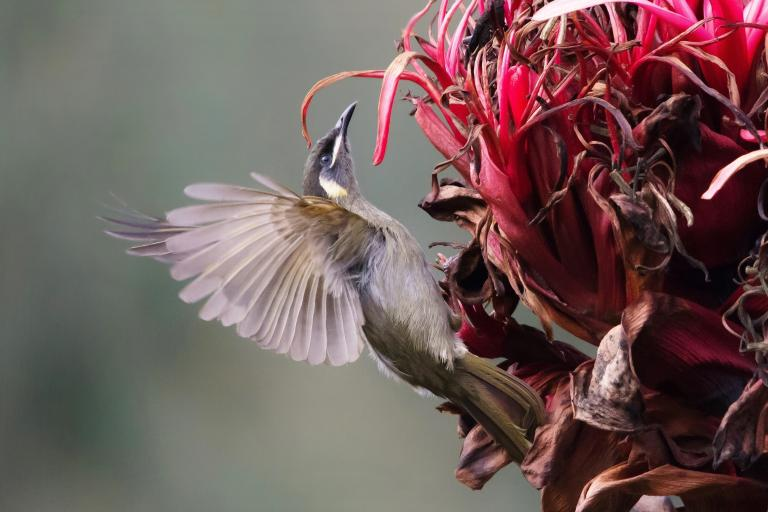 Colin Talbot: Lewin's Honeyeater on Gymea Lily