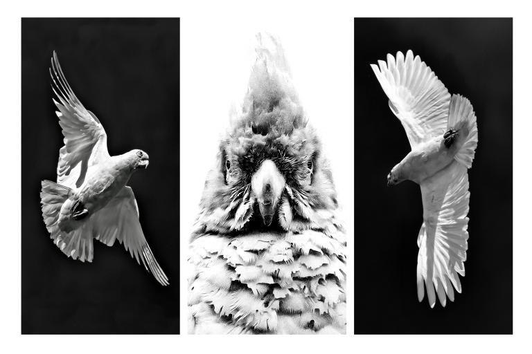 Colin Talbot: Little Corellas: a Triptych