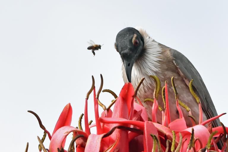 Colin Talbot: Noisy Friarbird & Bee