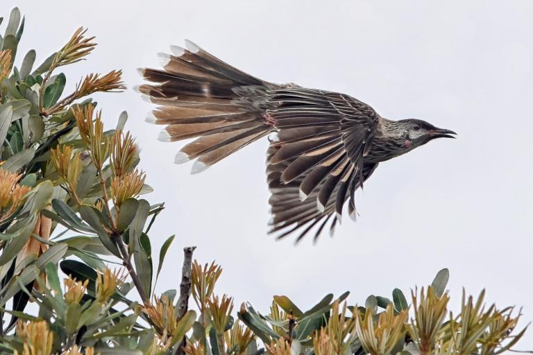 Colin Talbot: Red Wattlebird in Flight