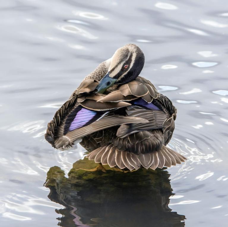 Colin Talbot: The Bashful Duck