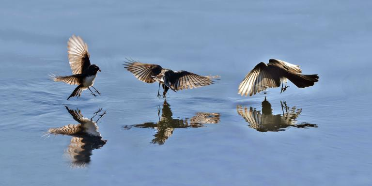 Colin Talbot: The Feeding Wagtail