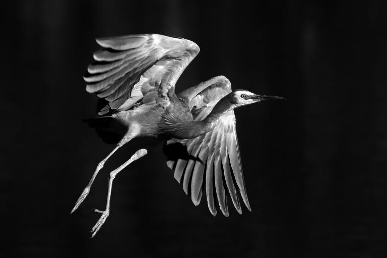 Colin Talbot: White-faced Heron #2