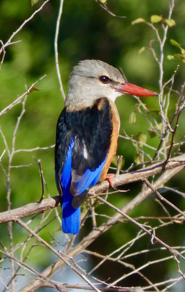 Tony Barnett: Grey-headed Kingfisher