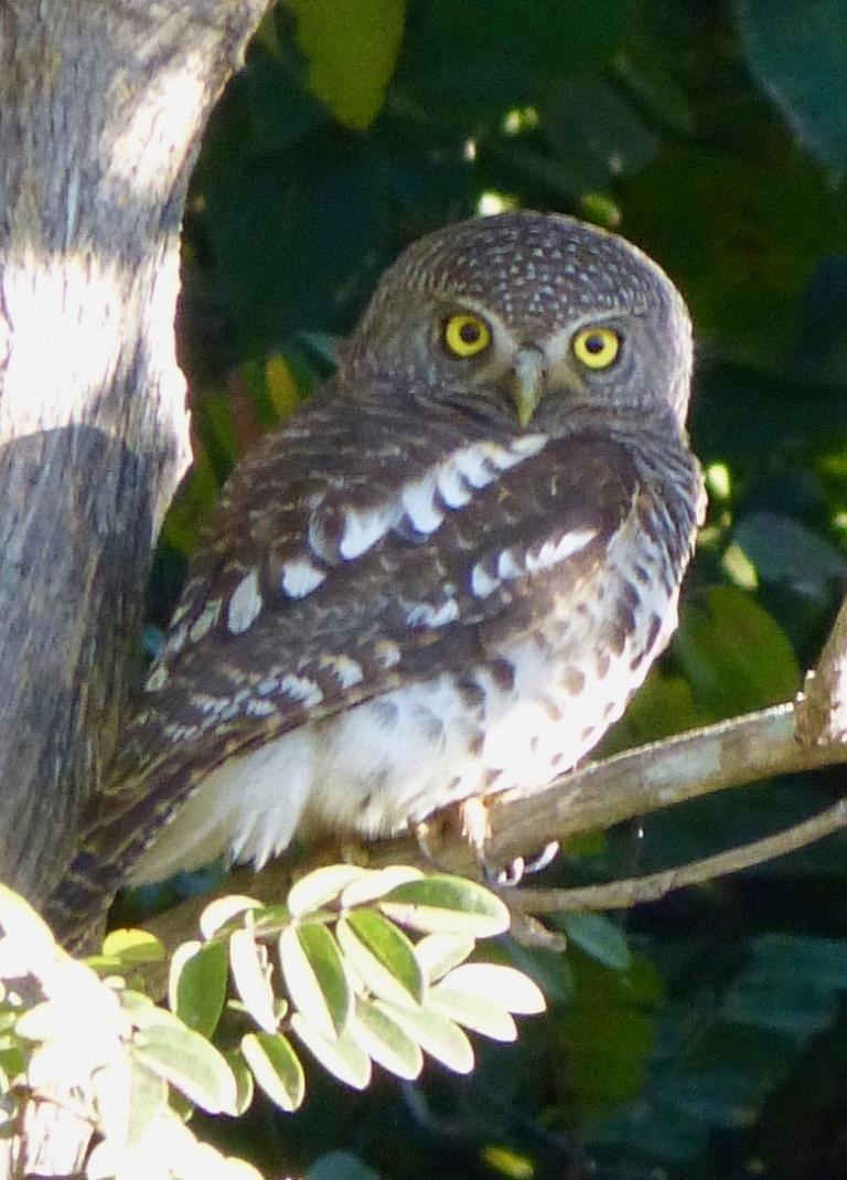 Tony Barnett: African Barred Owlet