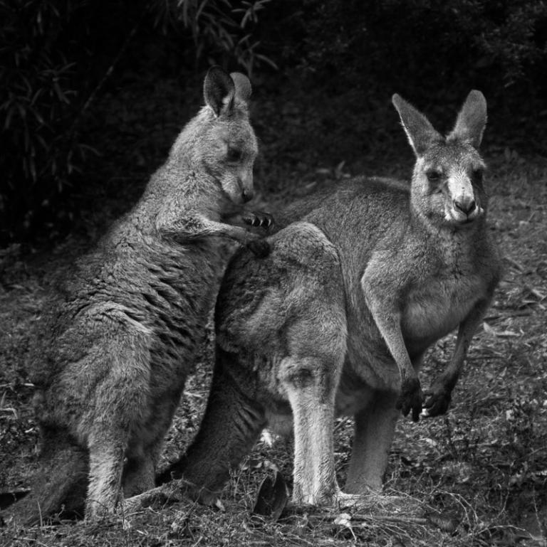 Sue Williamson: Mother and Child, Eastern Grey Kangaroos, Kangaroo Valley